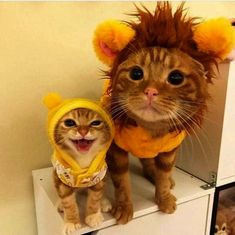 Leo and bee - your daily dose of funny cats - cute kittens - pet memes - pets in clothes - kitty breeds - sweet animal pictures - perfect photos for cat moms Silly Cats, Cute Kittens, Cats And Kittens, Funny Cats, Cats Humor, Birman Kittens, Siberian Kittens, Baby Animals, Funny Animals