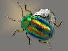 Chrysolina fastuosa (Micro leaf beetle) on a pin head   Klaus Bolte   Nikon Small World