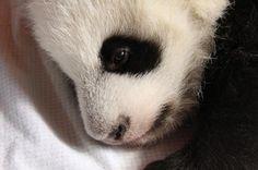 baby baby baby panda Book of Ra Little Panda, Panda Love, Cute Baby Animals, Animals And Pets, Young Animal, Mundo Animal, Cute Animal Pictures, Beautiful Babies, Pet Birds