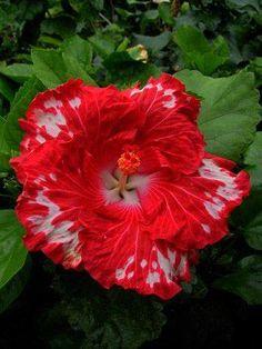 my hibiscus garden . X ღɱɧღ Unusual Flowers, All Flowers, Amazing Flowers, Beautiful Flowers, Hibiscus Plant, Hibiscus Flowers, Tropical Flowers, Hibiscus Garden, Hibiscus Rosa Sinensis
