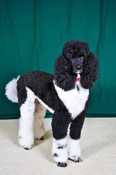 The Athletic Poodle Dog Exercise Needs Small Poodle, Poodle Grooming, Dog Grooming, Poodle Haircut, French Dogs, French Poodles, Poodle Cuts, Sweet Dogs, Animals