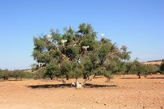 Tamri goats climbing trees in search of Argan berries -    The goats eat the berries, pass the nuts which are collected by Moroccan women and made into argan oil.  IMG_7671...