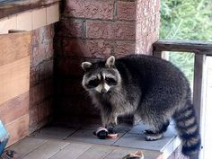 Yes I love raccoons and they will be incorporated in hadley's room :)