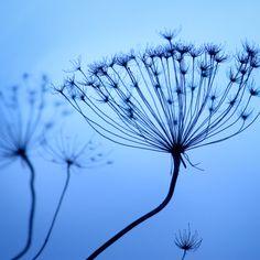 Blue Seedheads I Part of a set of three