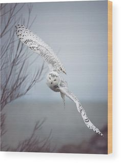 Snowy Owl In Flight Wood Print by Carrie Ann Grippo-Pike. All wood prints are professionally printed, packaged, and shipped within 3 - 4 business days and delivered ready-to-hang on your wall. Choose from multiple sizes and mounting options.