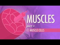 Muscles, part 1 - Muscle Cells: Crash Course A&P #21 by thecrashcourse: We're kicking off our exploration of muscles with a look at the complex and important relationship between actin and myosin. Your smooth, cardiac, and skeletal muscles create movement by contracting and releasing in a process called the sliding filament model. Your skeletal muscles are constructed like a rope made of bundles of protein fibers, and that the smallest strands