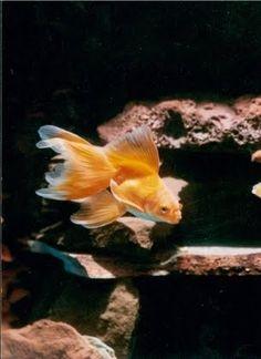 20 Types of Goldfish for Aquarium (Oranda, Shubunkin, Bubble Eye, Etc) Bubble Eye Goldfish, Goldfish Care, Goldfish Aquarium, Goldfish Pond, Lionhead Goldfish, Ryukin Goldfish, Goldfish Types, Veiltail Goldfish, Aquariums