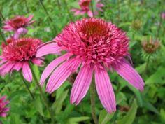 Echinacea purpurea 'Pink Double Delight'