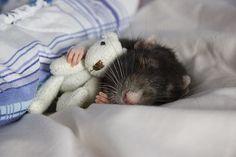 rat & his teddy