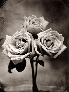 Three Roses, Tom Baril, Platinum Palladium, Printed By Renaissance Press