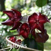 Planta Hoya onychoides VENTA !