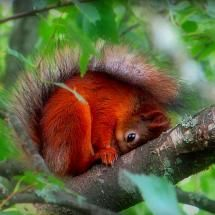 Shy red squirral