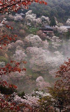 Flores de cerezo en plena floración en el Monte Yoshino, Nara, Japón.