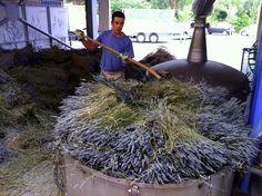 Le distillateur met la lavande dans le vase pour la distillation.  The distillator put the lavender in the tank for the distillation.
