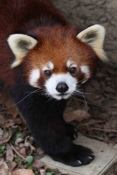It is impossible to look at their faces without feeling all warm and fuzzy inside. 17 Reasons Red Pandas Are Earth-Shatteringly Cute Mundo Animal, My Animal, Cute Baby Animals, Animals And Pets, Beautiful Creatures, Animals Beautiful, Panda Love, Panda Panda, Tier Fotos