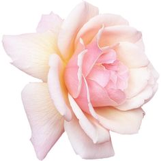 роза,розы пнг, ❤ liked on Polyvore