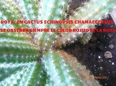La página más grande de Cactus y Crasas en el mundo: CUIDADOS DE LOS CACTUS Cómo curar los cactus e identificar plagas fácilmente !!!!! Clickeá ! Cactus Y Suculentas, Succulents, Grande, Cacti, Blog, Gardening, Gardens, Shopping, World