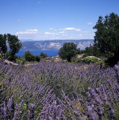 Reconnect with nature.  Photo of wild lavender on Hvar Island - Adriatic Sea