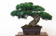 Bildergebnis für bonsai in schale