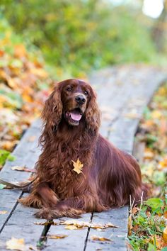 Red irish setter dog in autumn park.. One of my favorite breeds ! Wonderful personalities.