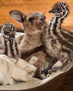 Baby emus and kangaroo