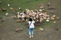 Okunoshima, Rabbit Island #AWESOME