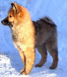 eurasier dog Hadley puppy