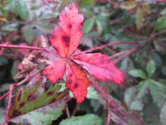 Blackberry leaves!