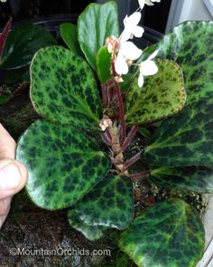 Mountain Orchids: Begonia blancii (Marbled)
