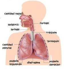 10 Ideas De Sistema Respiratorio Para Niños Sistema Respiratorio Para Niños Sistema Respiratorio Respiratorio