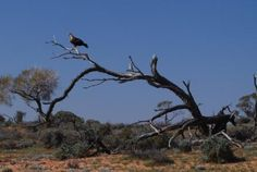 The majestic Wedge Tailed Eagle is Australias largest bird of pray