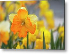 Split-corona Daffodil Orangery Metal Print by Jenny Rainbow. All metal prints are professionally printed, packaged, and shipped within 3 - 4 business days and delivered ready-to-hang on your wall. Choose from multiple sizes and mounting options. Daffodils, Tulips, Fine Art Prints, Framed Prints, Beautiful Flowers Garden, Any Images, Botanical Gardens, Spring Flowers, Fine Art Photography