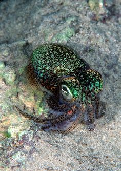 Euprymna Tasmanica isone of about ten species of Bobtail Squid