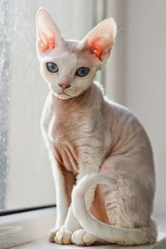 Top 5 of the Most Affectionate Cat Breeds Sphynx Pretty Cats, Beautiful Cats, Animals Beautiful, Cute Animals, Pretty Kitty, Baby Animals, Animals Sea, Rainforest Animals, Chat Sphynx