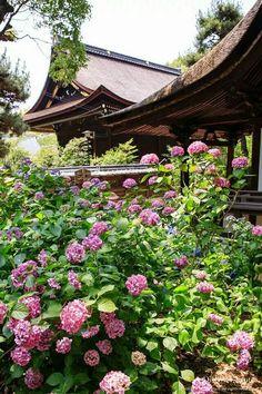 Hydrangeas in Kyoto.