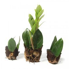 Look at this succesfull propagation: From the leaves of a Zamioculcas