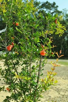 The Russian 26 Pomegranate trees Can grow in MIssouri