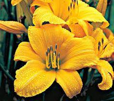 """Hemerocallis """"Buttered Popcorn"""" daylily"""
