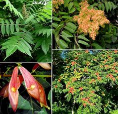 Tree of Heaven | Tree-of-Heaven or Ailanthus | Statue Tree