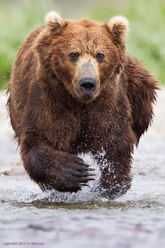 Grizzly Charge Photo by Tin Man Lee Bear Photos, Bear Pictures, Animal Pictures, Wildlife Photography, Animal Photography, Man Photography, Photography Portraits, Beautiful Creatures, Animals Beautiful