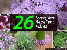 """Recently, we shared a the post – """"13 Easy to Grow Mosquito Repelling Plants"""" which was very popular. One of the best ways to use mosquito repelling plants is to use containers placed around your patio, deck, or outdoor living space. Planting in the ground near the front door and your back door is a …"""