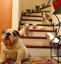 I love English Bulldogs. I have 3. Gumbo is my only boy he is 19months and Cookie and Cupcake are 11months. I want my home to look just like this picture. Full of Bulldogs =)