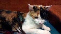Deanna is an adoptable Calico Cat in Schaumburg, IL. Deanna is about 2 years old.  She was very active and too busy for me to get a really good photo of her.  She has a beautiful coat.  She gets along...