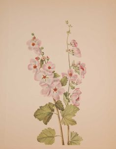 Vintage botanical print from 1925 by Mary Vaux Walcott titled Orange-eye Globemallow. Walcott did the drawings for these prints whilst traveling across North America and they where subsequently produced in 1925 as prints by the Smithsonian in a work on North American Wildflowers. Vintage Botanical Prints, See Picture, Wildflowers, Prints For Sale, Printing Process, North America, Random Stuff, Initials, Traveling