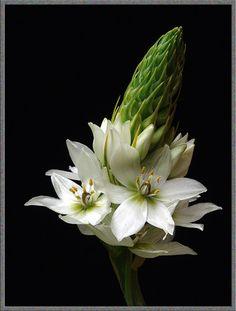 Ornithogalum is een opvallende verschijning. Er zijn veel verschillende soorten. Ornithogalum thyrsoides (zuidewindlelie) heeft ook witte bloemen, maar de bloemtros is piramidevormig.    - Lees het verhaal van de bloem hier: http://www.puresummerflowers.nl/actueel/bloem_van_de_maand/artikel/ornithogalum_rank_en_elegant/