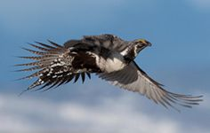 Interior Announces Sage-Grouse Conservation Plans for Tens of Millions of Acres of the American West