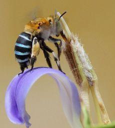 Если бы среди пчел проводился конкурс на самое быстрое опыление, полосатая амегилла всегда бы занимала первое место.