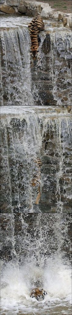 Tiger descends a waterfall. Tiger descends a waterfall. Big Cats, Crazy Cats, Cats And Kittens, Beautiful Cats, Animals Beautiful, Funny Animals, Cute Animals, Wild Animals, Gato Grande