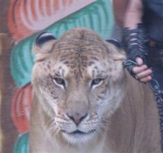 The Head size of Hercules the liger is biggest among all the carnivore mammals. This picture belongs to Kruger Girl