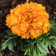 By kleintiereonline.de. .  Alleinstehende Blume am Beispiel: Tagetes. Diese farbenprächtigen Sommeblüher gehören zu der Familie der Korbblüher. Die etwa 60 Arten sind sowohl im Freiland als auch auf dem Balkon zu finden. Sie stammen aus Mittel-und Südamerika und mögen vollsonnige Standorte. Wir schauen in unserem Garten jeweils ganz genau hin, denn die Tagetes haben eine magische Wirkung auf Schnecken. . #tagetes #sommerblüher #studentenblume #freilandbeet #balkonpflanze #schneckenfrass… Plants, Middle, Snails, Berries, Lawn And Garden, Plant, Planets
